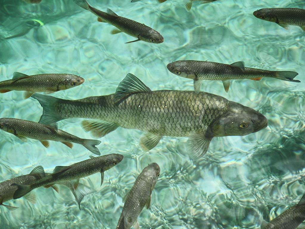 Samo četvrtina ribe na trpezi iz domaćih ribnjaka - Godišnja proizvodnja u Srbiji 15.000 tona