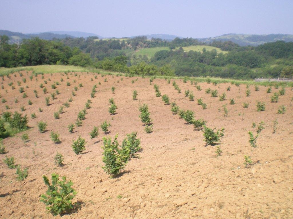 Plantaža leske