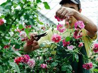 Od ruža veća zarada nego od salate - Godišnja proizvodnja ukrasnog rastinja oko 20 mil EUR