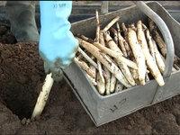 Na tržištu uskoro bela špargla iz Šumadije - Za početak proizvodnje najmanje 30.000 EUR