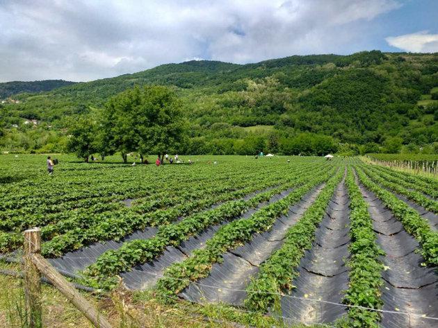 Polje jagoda u Bajinoj Bašti