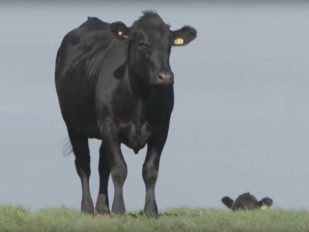 Angus goveda prilika za razvoj srpskog stočarstva