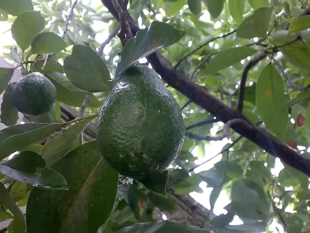 Meksička kompanija proizvodi biorazgradivi pribor za jelo od koštica avokada