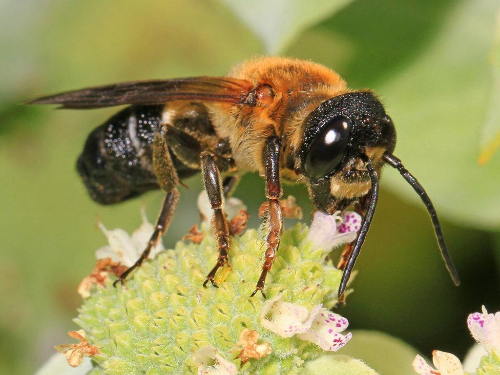 Naučnici otkrili tajnu mozgova pčela