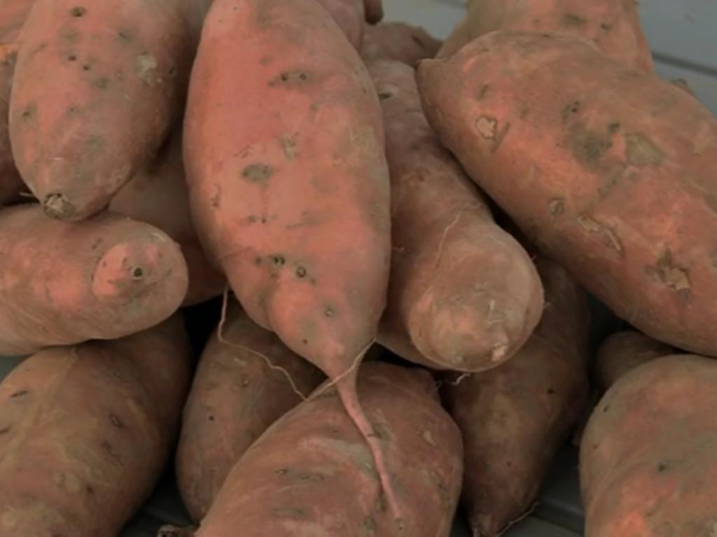 Od batata i do 10.000 EUR po hektaru - Uprkos povoljnim uslovima proizvodnja slatkog krompira u BiH simbolična