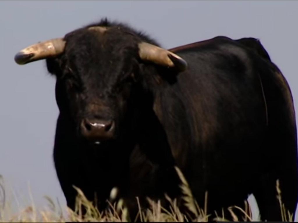 Bikovi iz Mačve, Srema i Bačke krenuli put Libana - U prvom kontingentu izvoz 1.500 životinja, uskoro još toliko