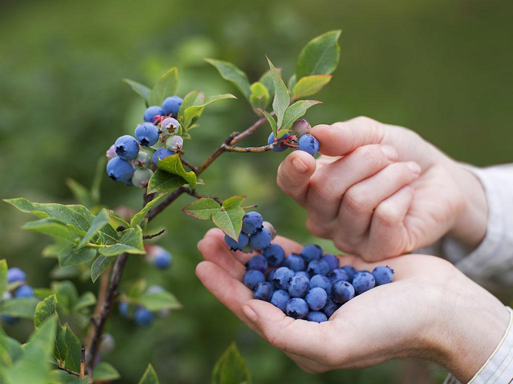 U Srbiji pod borovnicom oko 2.000 hektara - Najviše ovog voća izvezemo u Rusiju i Holandiju