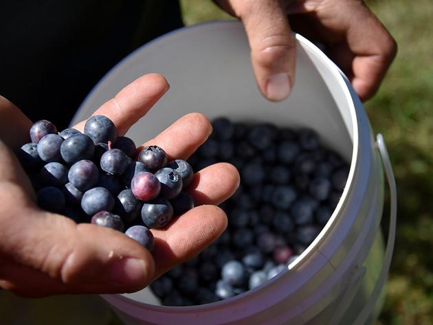 Organska proizvodnja borovnice novi poslovni poduhvat porodice Gljiva kod Ilijaša - Brend Family S uskoro u prodavnicama