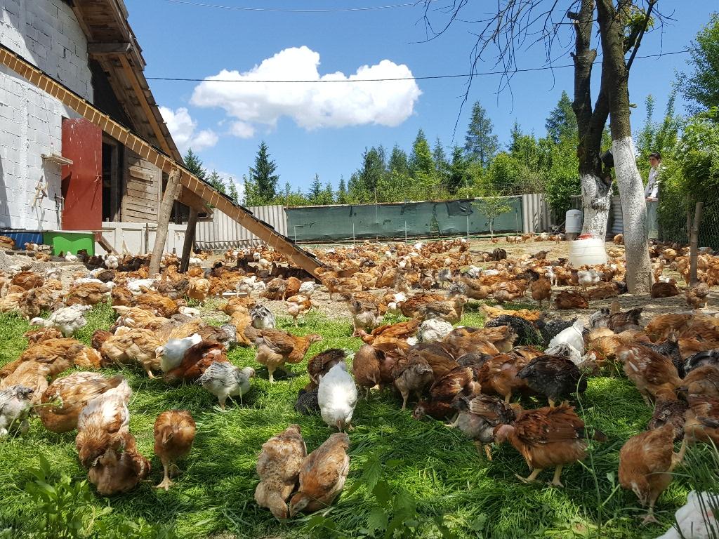 Put do organskog mesa i jaja - Kineska kompanija ZhongAn Online razvila GPS za praćenje pilića