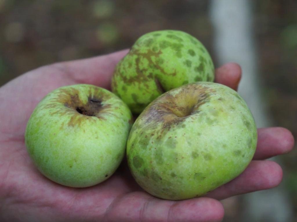 Bogatstvo autohtonih sorti jabuka u Srbiji - Od budimke do šumatovke