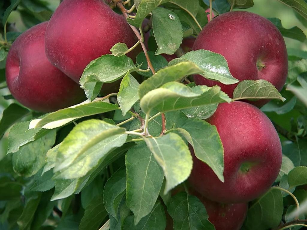 Predstavljene nove sorte jabuka Giga i RedPop