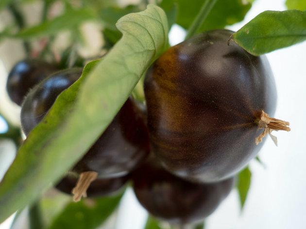 Poljoprivrednici iz Srbije sve više uzgajaju egzotične sorte voća i povrća - U Bariču uspeva i crni paradajz