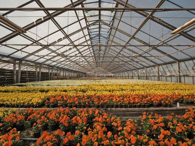 Uzgoj cveća u okolini Čoke - Veći profit neko kod povrtarstva