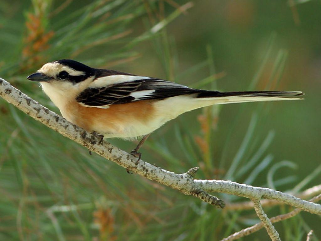 Dugorepi svračak - Nova vrsta ptice na području Srbije
