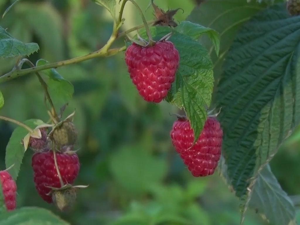 Enrosadira, nova sorta maline - Plodovi ostaju sveži do 12 dana