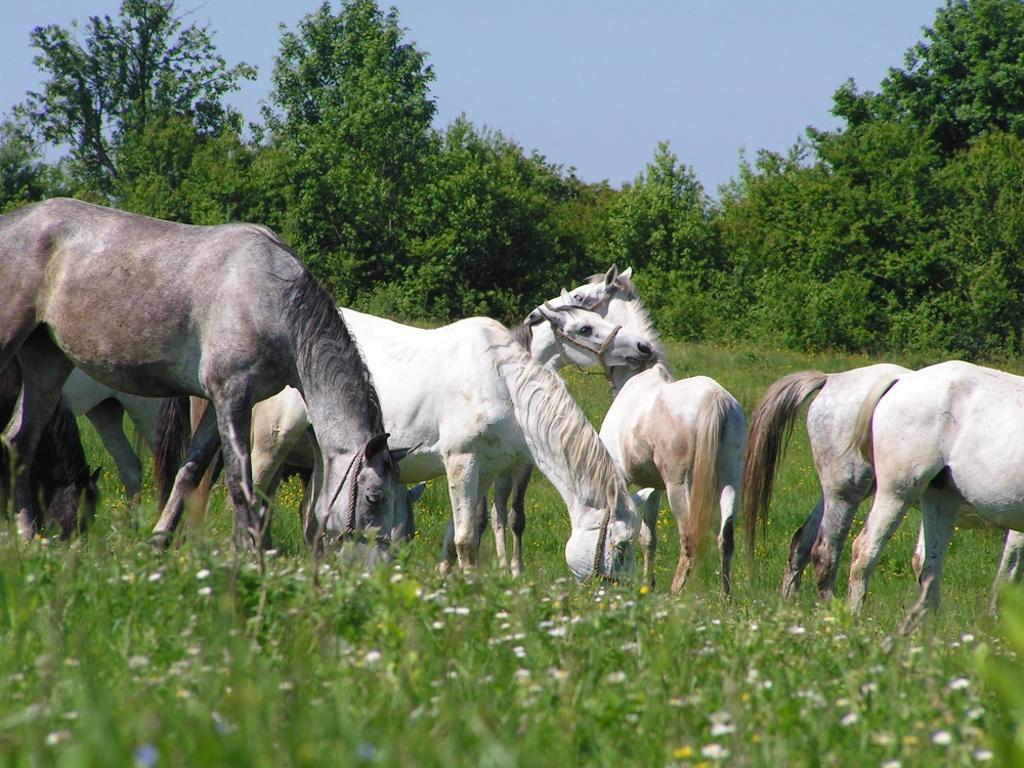 Lipicaneri iz ergele Vučijak čekaju nove vlasnike - Novac od prodaje 30 konja biće uložen u rast i razvoj farme