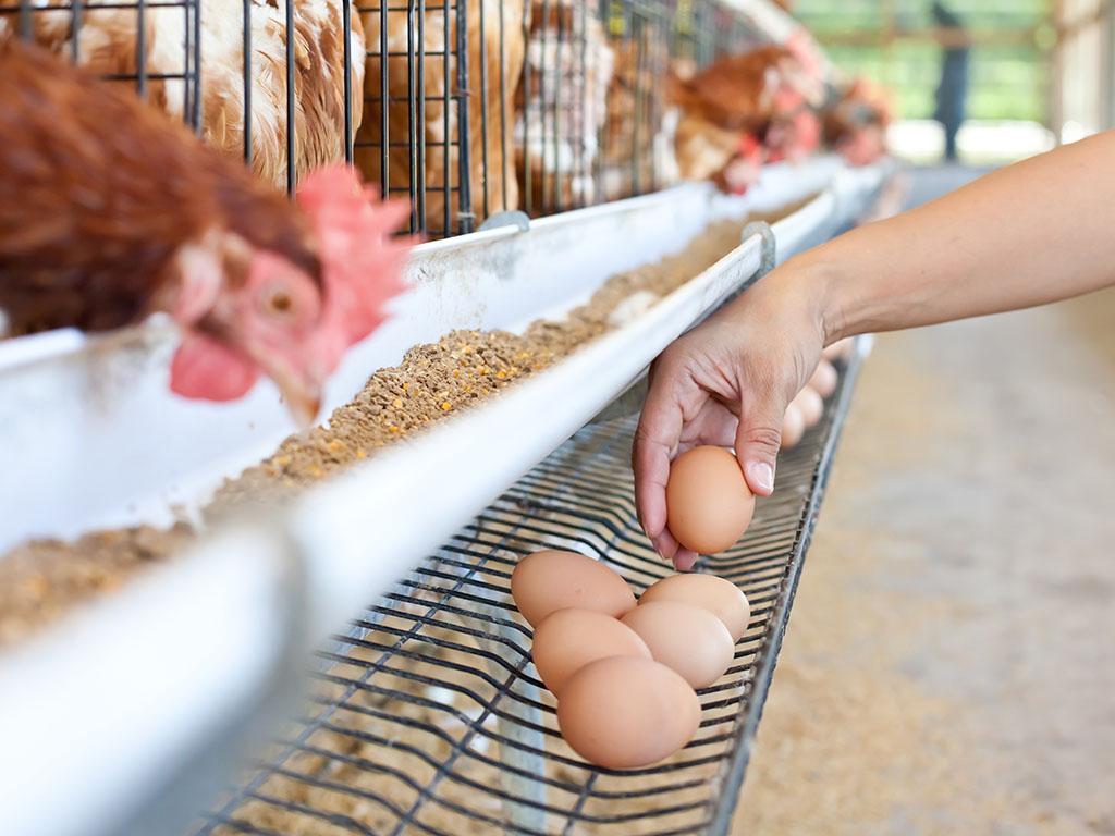 Put do izvoza jaja u EU biće dug - Živinari očekuju bar plasman za industrijsku preradu do kraja 2019.