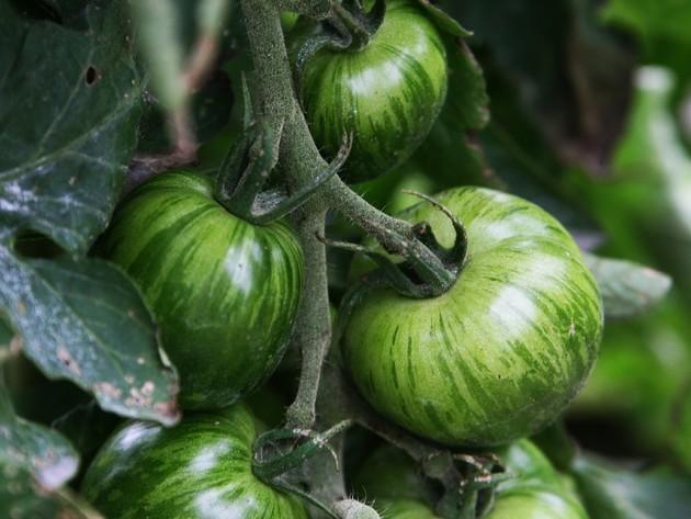 Svjež zeleni paradajz umjesto onog u tegli - Nova mogućnost ili eksperiment koji neće proći?