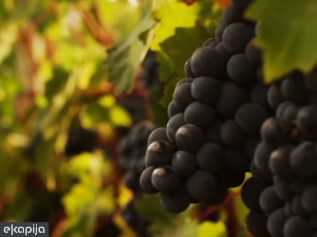 Organska vina sa Fruške gore - Kadarka među najskupljima u Mađarskoj