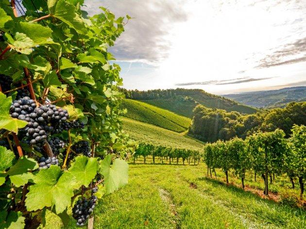 Velika početna ulaganja u vinograd, ali prihodi znatno veći