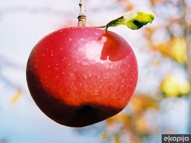 Nova sorta jabuke Ivana - Otporna na čađavu krastavost i pepelnicu