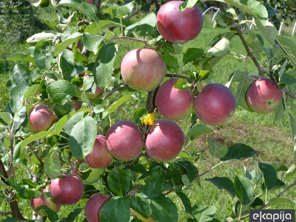 """Sajam """"Dani jabuke"""" 15. oktobra u Goraždu"""