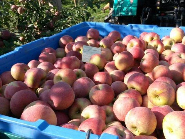 Srpske jabuke na putu za Indiju
