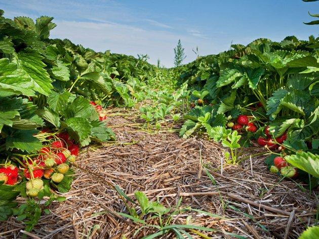 Srbija od jagoda godišnje zaradi 5 mil EUR - Isplativ posao ako nađete tržište