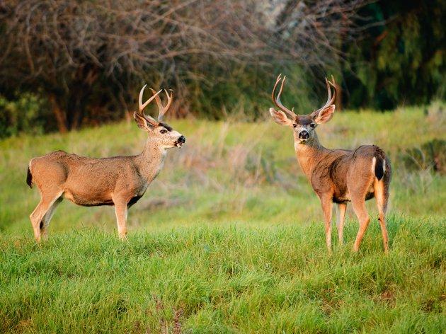Uzgoj jelena lopatara u okolini Majdanpeka - Posao koji se isplati onome ko je strpljiv