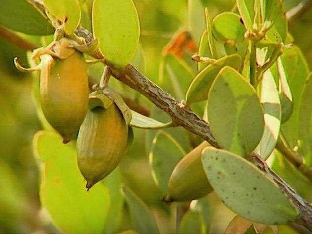 """Beograđanin proizvodi jojobu u Izraelu - Svojim lekovitim svojstvima """"pustinjski cvet"""" osvaja svetsko tržište"""
