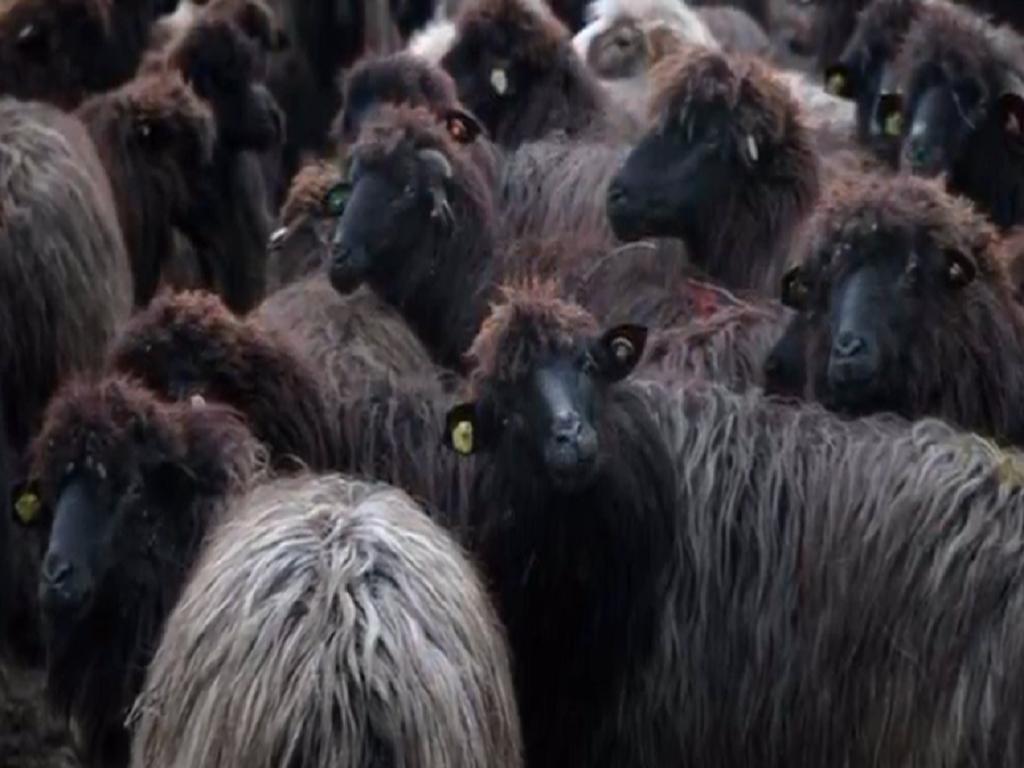 Autohtona karakačanska ovca i dalje opstaje u Srbiji - Daje i do kilogram i po najtoplije vune