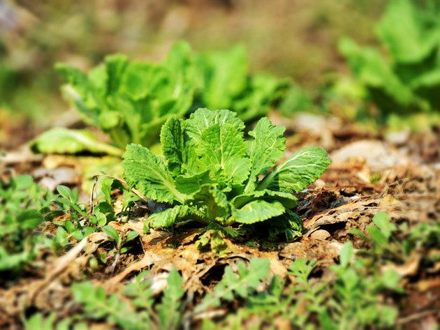 Kineski kupus još uvek malo poznato povrće kod nas - Prinos i do 80 tona po hektaru
