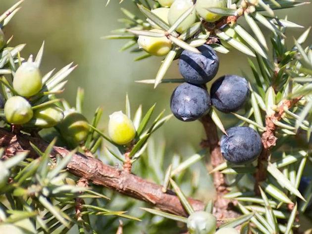 Kleka, ljekovita od stabla do ploda