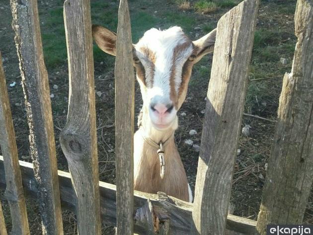 Alpske koze daju i do 900 litara mlijeka godišnje - Savjeti kako da kozarstvo bude unosan posao