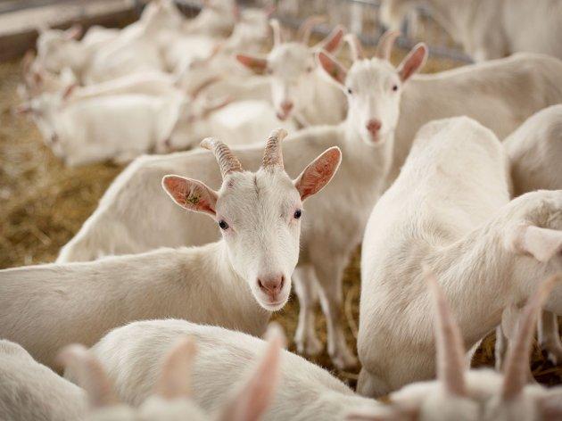 Kako zaraditi od uzgoja koza? - Alpska rasa otporna na lošije klimatske uslove i mnoge bolesti