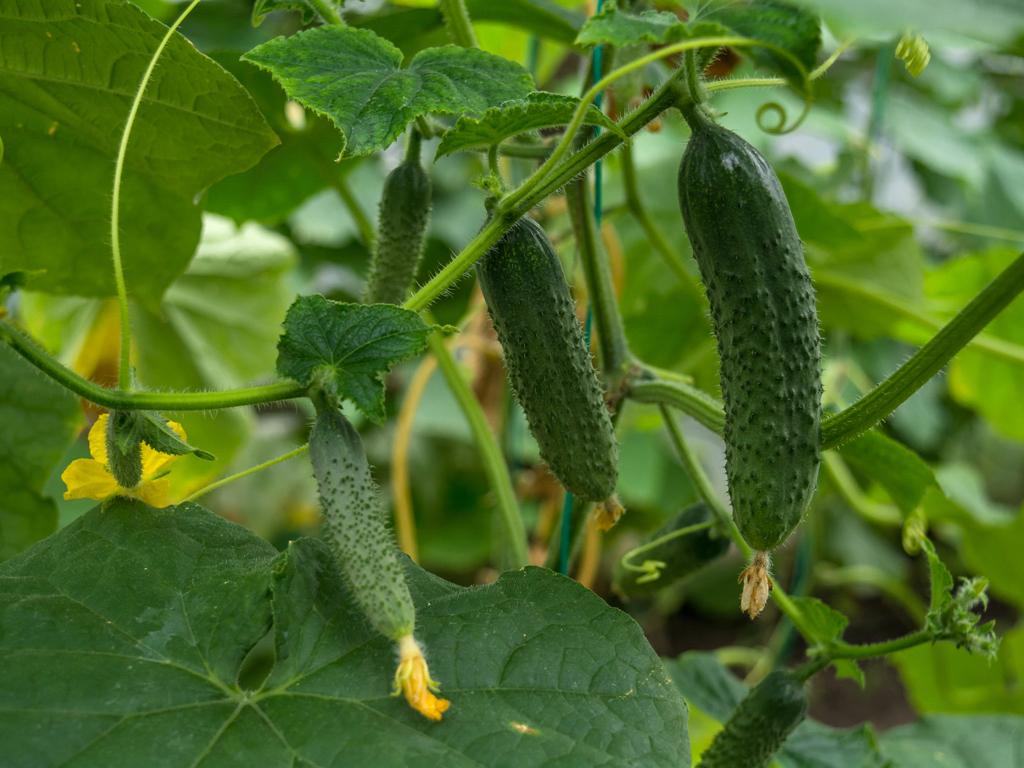 Plodna godina za proizvođače kornišona u Tuzlanskom kantonu - Očekuje se berba 200 tona