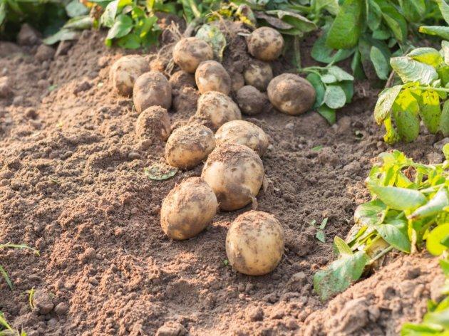 Koje sorte krompira su najbolje za industrijsku proizvodnju?