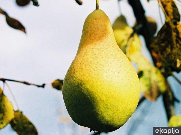 Citronka, stara zimska sorta kruške koja daje do 35 tona po hektaru