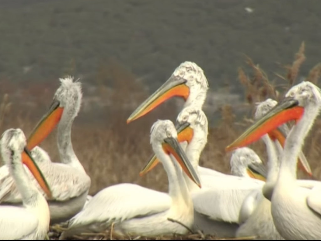 Pelicans return to the Danube after 100 years