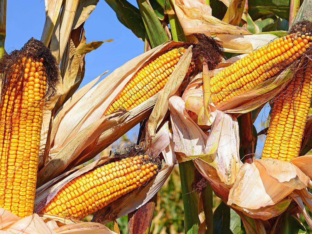 Ministarstvo poljoprivrede: Rast izvoza kukuruza neće dovesti do mera zabrane ili uvođenja taksi