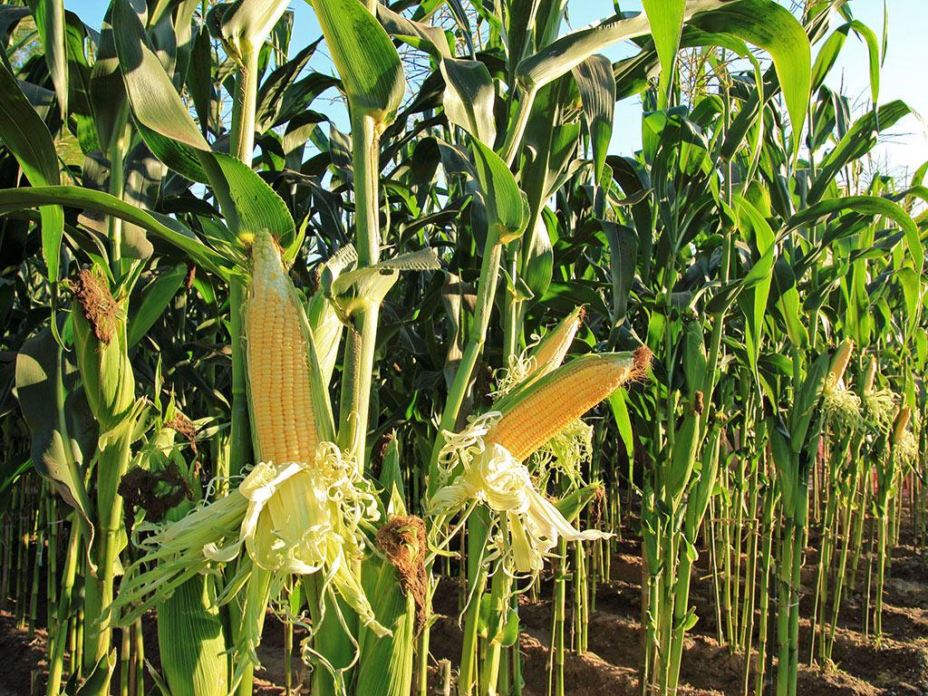 Institut za ratarstvo i povrtarstvo obezbedio seme kukurza za ratare na Baniji