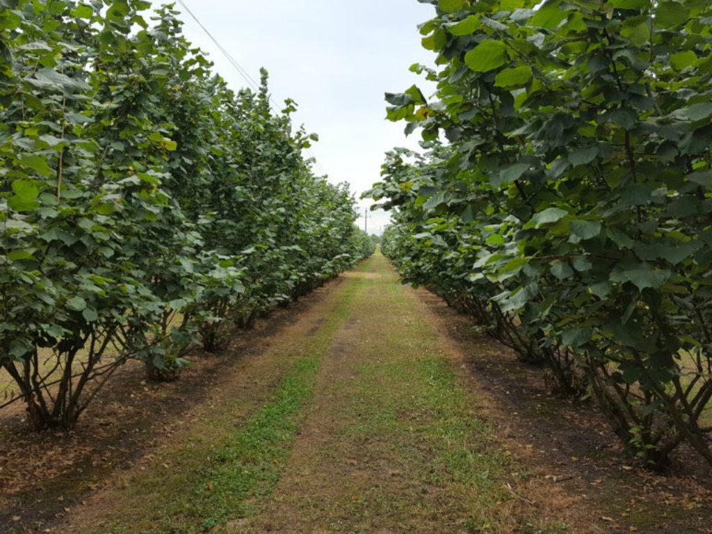 Turske mašine za branje jezgrastog voća odnedavno na tržištu Srbije