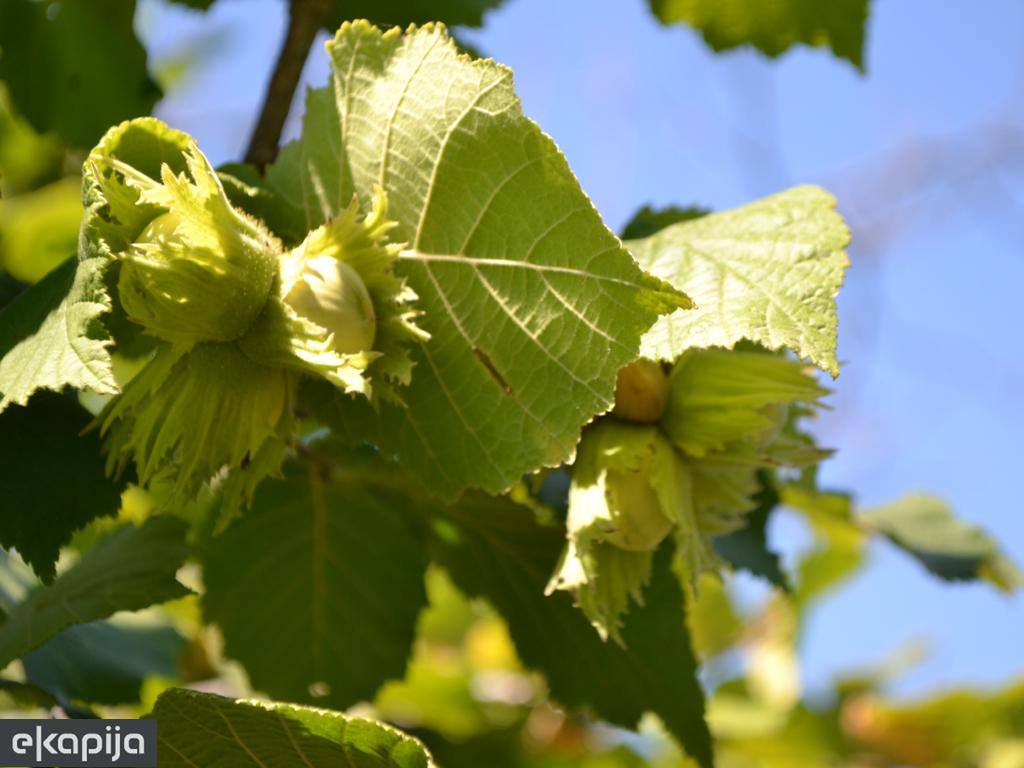 Kreće obiman uzgoj oraha, kestenja i lješnika u Velikoj Kladuši