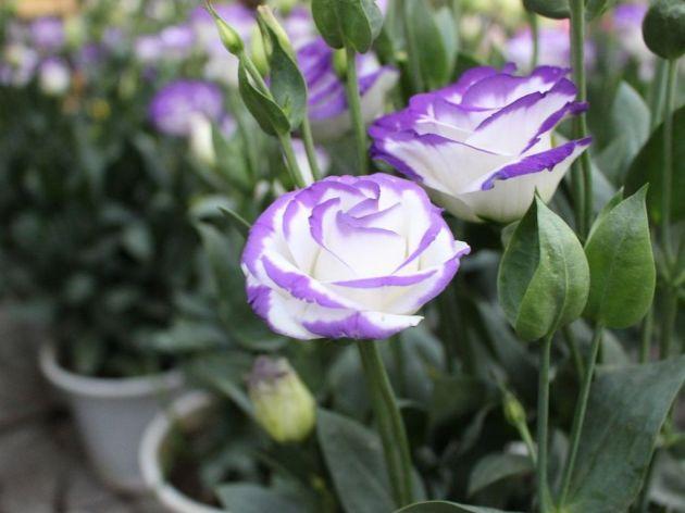 Lizijantus donosi veću zaradu nego kale - Zbog velike upotrebe popularan među cvećarima