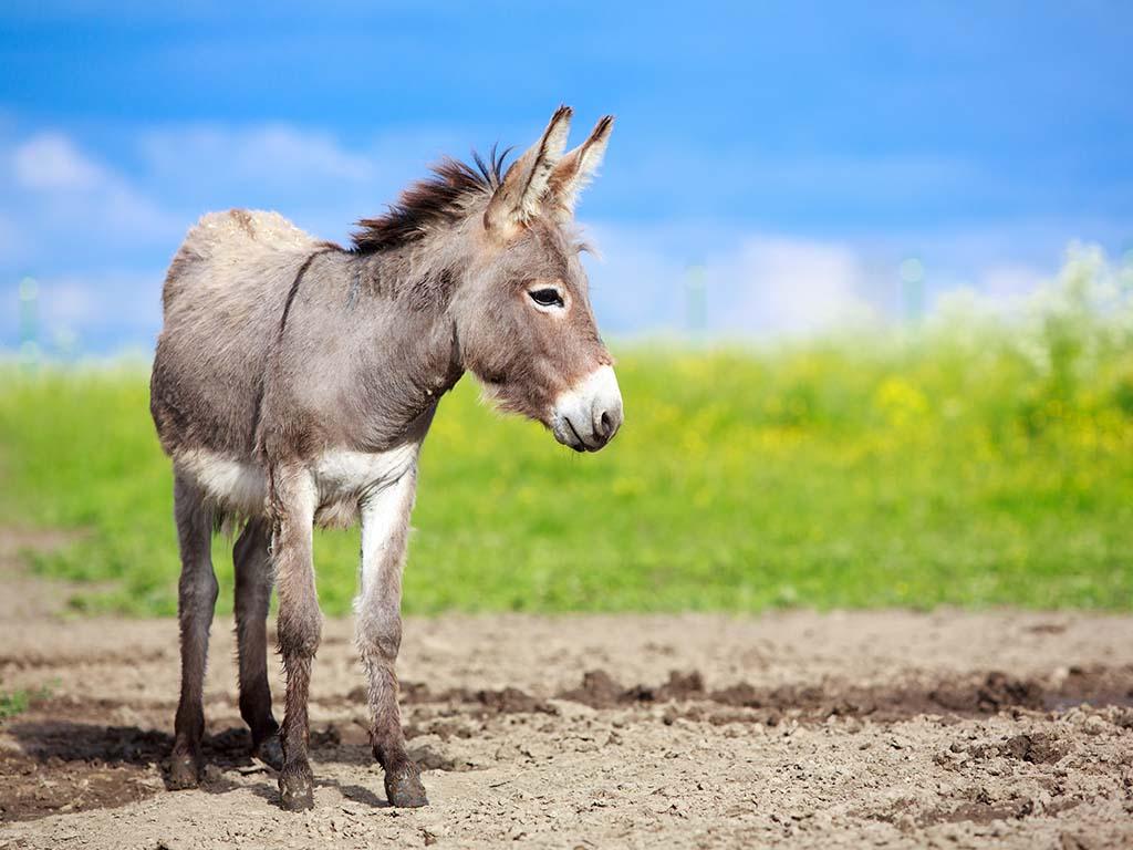 Na proleće se u Bobovu kod Svilajnca otvara farma magaraca - Za litar mleka od 40 do 50 EUR