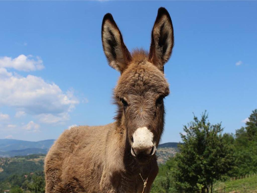 Uzgoj magaraca u BiH unosan, ali rijedak posao - FBiH daje podsticaje za domaću pasminu