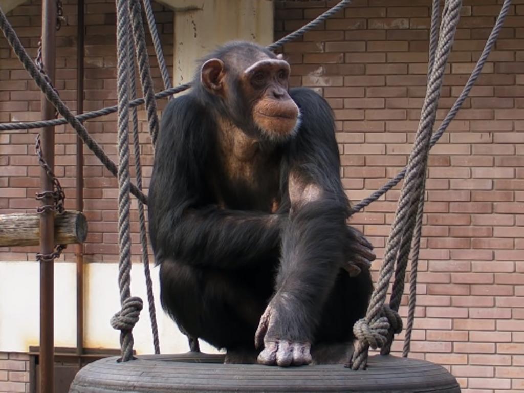 Rekonstrukcija u Beo zoo-vrtu - Majmuni se sele u novi smeštaj