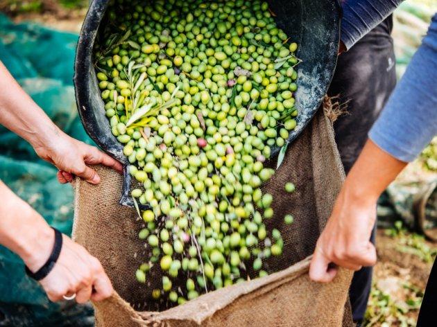 U Hercegovini napreduje maslinarstvo - Raste količina proizvedenog ulja