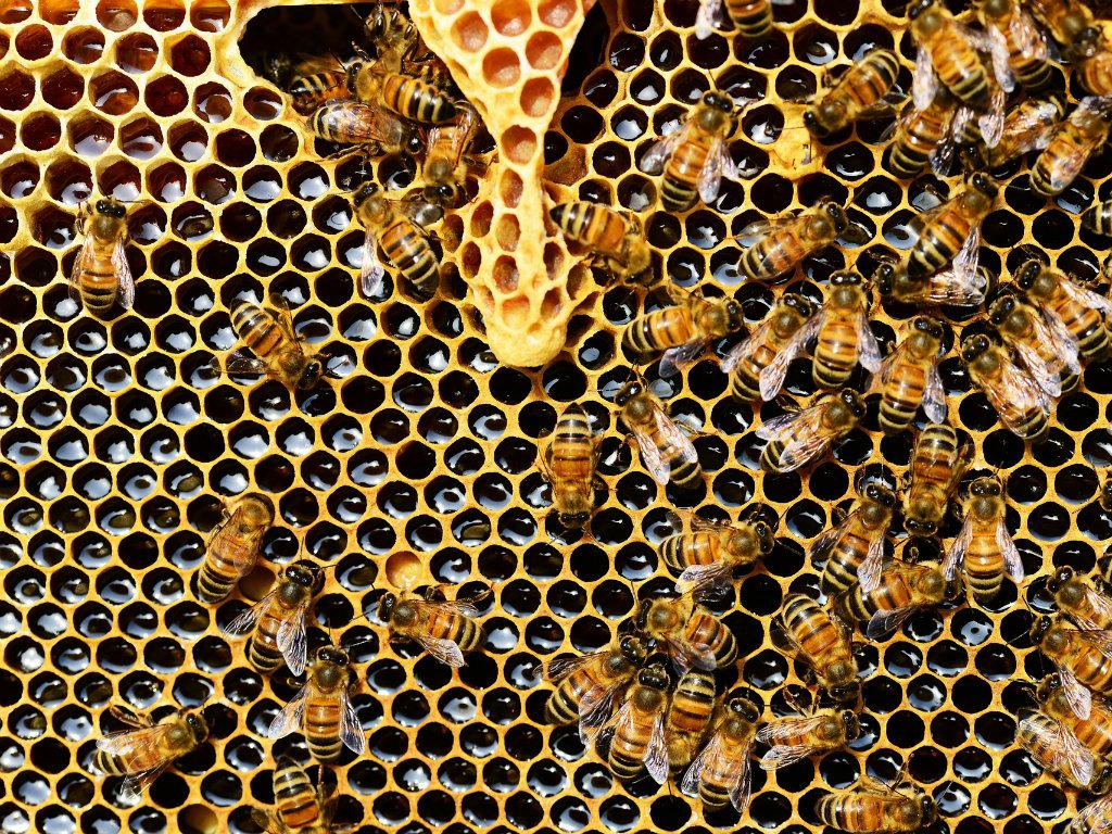 Naučnici u Australiji otkrili - Otrov pčela uništava agresivne ćelije raka dojke