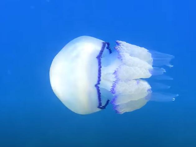 Na jelovnicima restorana uskoro bi se mogle naći meduze